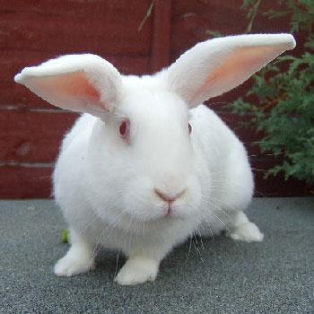 Заболевание у кроликов легче предупредить. карликовые кролики. кроликов. чем потом...