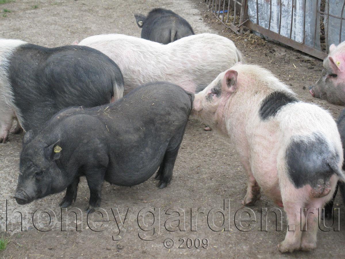 Руководство по сексу с свиней 7 фотография
