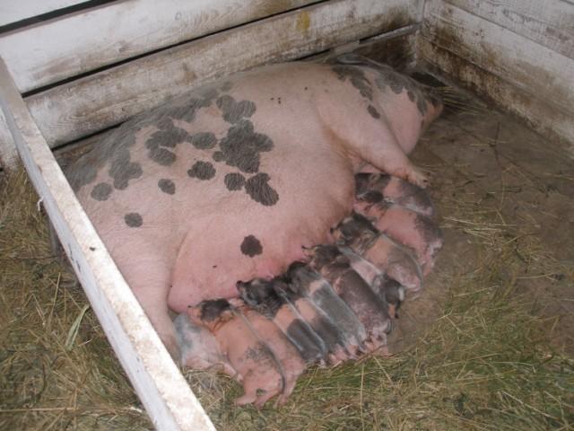вьетнамские свиньи вислобрюхие фото