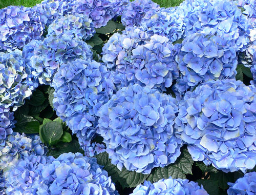 http://honeygarden.ru/flowers/hydrangea/hydrangea.jpg
