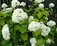 Гортензия hydrangea сем гортензиевые