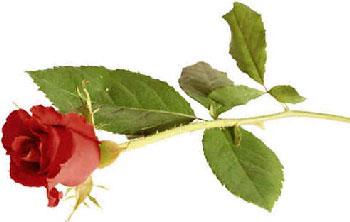 картинки цветов розы.