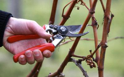 Обрезка и прививка, формирование кустов и деревьев