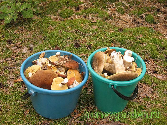 мы насобирали два ведра грибов