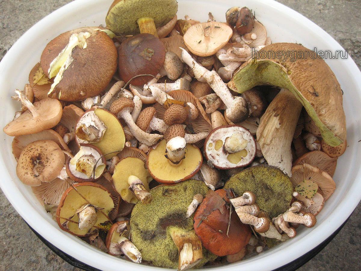 Летние и осенние опята, маслята, польские грибы, белый гриб