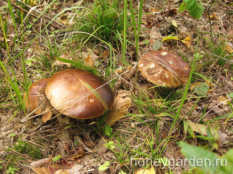 известное место белых грибов