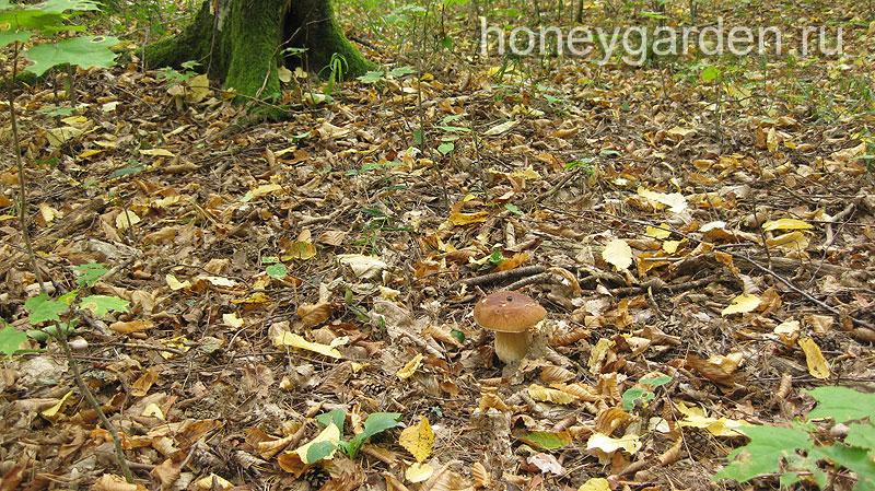 боровик едва заметен на лесной подстилке