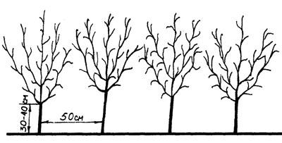 Схема посадки кустов черной смородины.