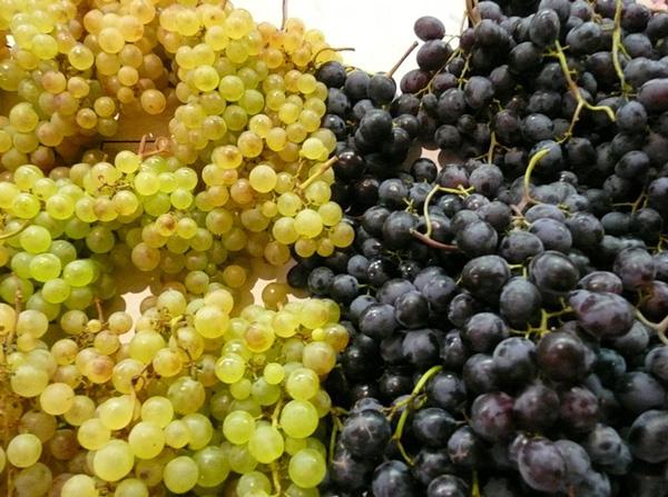 http://honeygarden.ru/plants/grape/grape.jpg